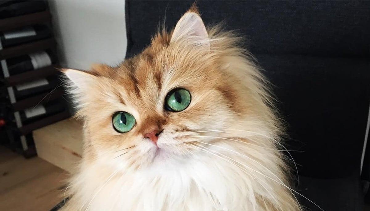 Il Gatto Più Bello Del Mondo Del 2016 Tecnosfera